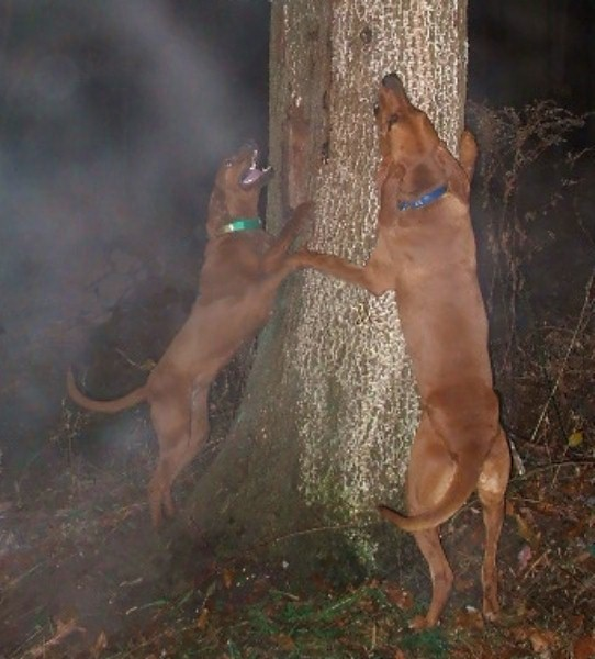 Redbone Coonhound Treeing Magic  amp  dutch treeing on aRedbone Coonhound Treeing