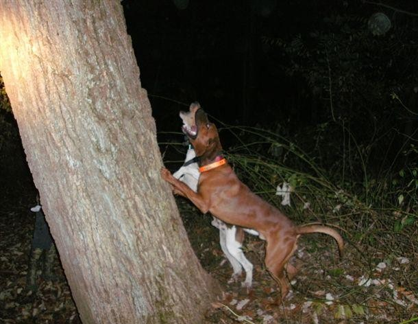 Redbone Coonhound Treeing Treeing at 10 months old Redbone Coonhound Treeing