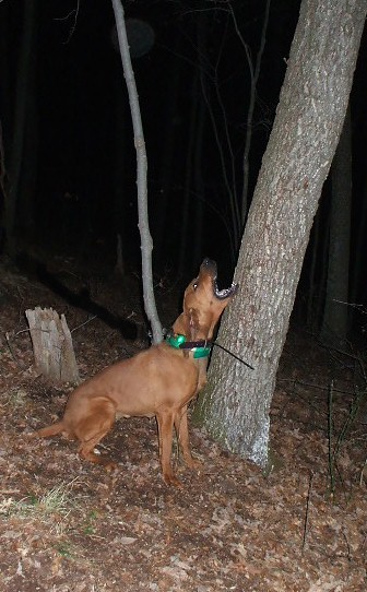 Redbone Coonhound Treeing a CoonRedbone Coonhound Treeing